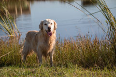 Golden retriever. Standing at water on grass royalty free stock images
