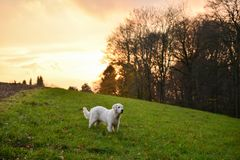 Golden Retriever staying on a field in autumn Royalty Free Stock Photography