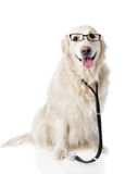 Golden retriever with a stethoscope on his neck. Stock Photos