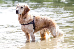 Golden retriever stoi na wodzie Obrazy Royalty Free