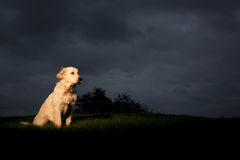Golden Retriever with Storm Cloud Royalty Free Stock Images