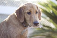 Golden retriever am Strand Lizenzfreies Stockbild