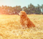 Golden Retriever in the straw Royalty Free Stock Image