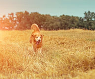 Golden Retriever in the straw Stock Photography
