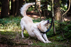 Golden retriever stretching Royalty Free Stock Images