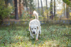 Golden retriever strolls across morning dew. Golden retriever strolls across wet grass. Grass is wet by morning dew Royalty Free Stock Image