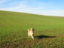Golden retriever su un campo verde Immagini Stock Libere da Diritti