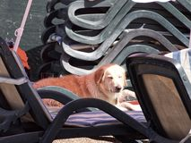 Golden retriever sunbathing royalty free stock photography