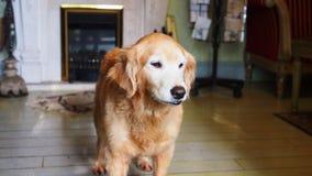 Golden retriever supérieur paresseux d'animal familier à la maison photographie stock