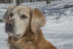 Golden retriever sur la neige blanche Photo stock