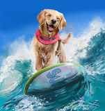 Golden Retriever surfer. Rides on the waves Stock Images
