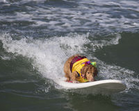 Golden Retriever surfing. And catching a wave at the beach Stock Photo