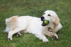 Golden retriever sveglio adorabile che gioca con una palla su erba verde immagini stock libere da diritti