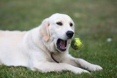 Golden retriever sveglio adorabile che gioca con una palla su erba verde fotografia stock