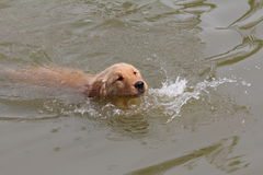 Golden retriever swimming Stock Images