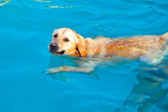 Golden Retriever swimming Stock Photos