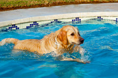 Golden Retriever swimming Stock Image