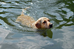 Golden Retriever Swimming Royalty Free Stock Image