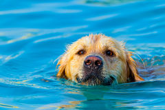 Golden Retriever swimming Royalty Free Stock Images