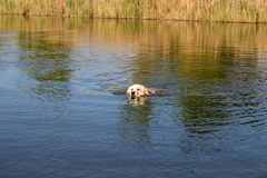 Golden Retriever swimming in lake. Hound hunting in pond. Dog is exercising and training in reservoir. stock photography