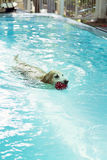 Golden retriever swimming in pool Stock Photos