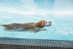 Golden retriever swimming in pool Royalty Free Stock Photos