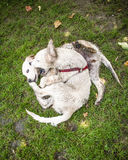 2 golden retriever szczeniaków bawić się Obraz Royalty Free