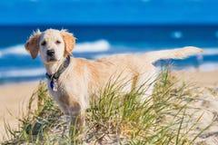 Golden retriever szczeniak bada plażę Fotografia Royalty Free