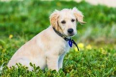 Golden retriever szczeniak bada plażę Zdjęcia Stock
