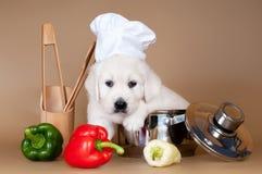 Golden retriever szczeniak jako kucharz fotografia stock