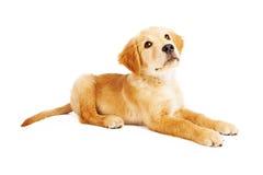 Golden Retriever szczeniak Kłaść Bocznego widok obraz stock