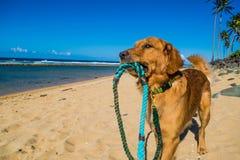 Golden retriever szczeniak na brzeg plaży Zdjęcie Stock