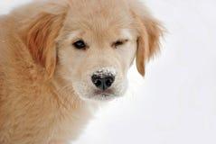 Golden retriever szczeniak w śniegu obrazy royalty free
