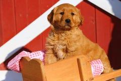Golden Retriever szczeniaka pozycja na Drewnianym Wheelbarrow Zdjęcia Stock