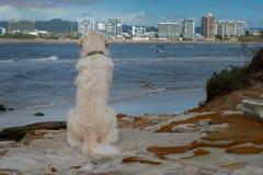 Golden retriever szczeniaka psa spojrzenia nad za ładnym widoku na ocean obrazy stock
