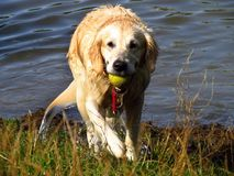 Golden retriever takes the green tenis ball out of the pond. Dog playing by the water Stock Photography