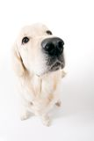 Golden retriever thinking Stock Images