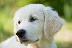 Golden retriever three months old dog portrait with a green grass background. Royalty Free Stock Photo