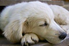Golden retriever three months tired dog sleeps. Stock Photo