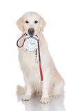 Golden retriever time for a walk Stock Image