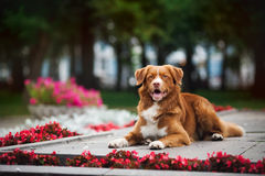 Golden retriever Toller dog lies in the colors