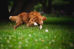 Golden retriever Toller dog playing with ball Royalty Free Stock Image