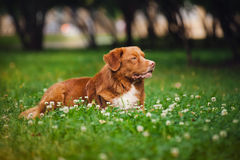 Golden retriever Toller dog rests Stock Photos