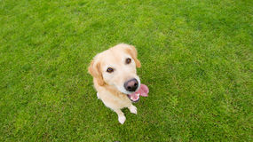 Golden retriever top-down view. A sweet golden retriever in a top-down view on a grass field Stock Image