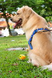 Golden Retriever with Toy. Golden Retriever dog with its toy in the park stock photography