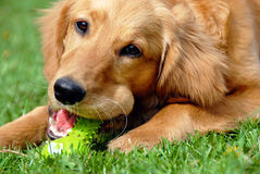 Golden retriever with toy stock images