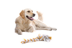 Golden Retriever with toy Royalty Free Stock Photography