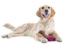Golden retriever and toys Royalty Free Stock Image