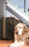 Golden Retriever travel departing Stock Images