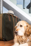 Golden Retriever travel departing Royalty Free Stock Photo